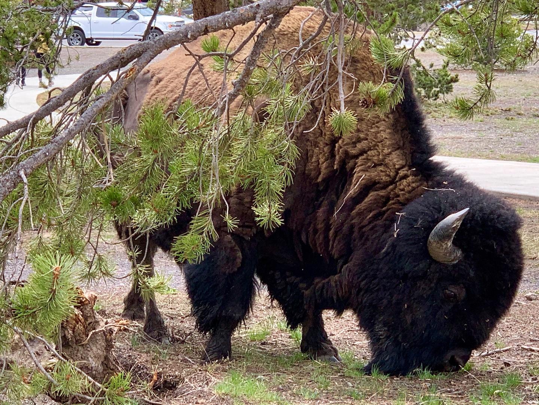 Buffalo grazing near Old Faithful, Yellowstone National Park, USA